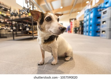 small dog in shopping market - cute little Rack Russell terrier - 12 years old, hair style smooth