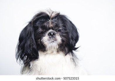 small dog sitting on its hind legs on a white background