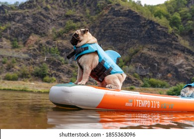 Small dog sitting on paddle board on river. Cute beige pug in shark vest in nature. Dog in life jacket.