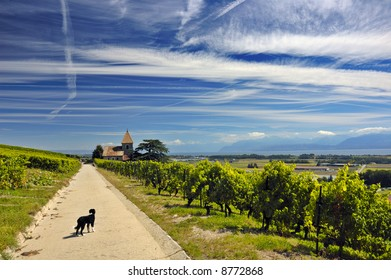 A small dog stands on a road through Swiss vineyards with a church in the distance.