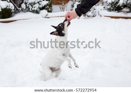 Small dog (Toy Fox Terrier), standing on his rear legs and eating a treat from the owners hand.