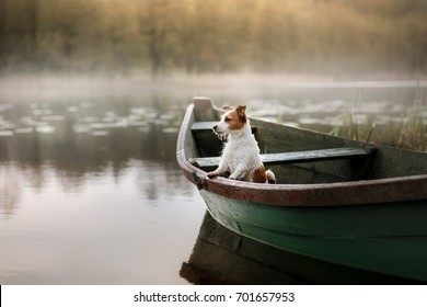 Small dog in a wooden boat on the lake. Breed Jack Russell Terrier