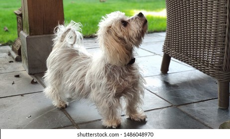 Small domestic dog suffering from the disease of Cushing begging for some food