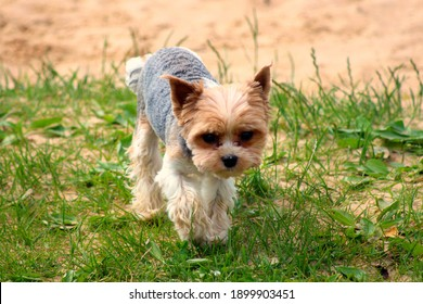 A small domestic thoroughbred dog runs on the lawn.