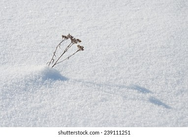 small dry plant peeping out of the snow