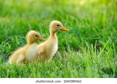 Small duck on the background of green grass