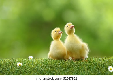 small duck who discovers life