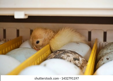 A Small Duckling Hatches From The Egg in the incubator.  Incubator. Incubator and Hatcher.