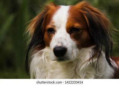 Small Dutch Waterfowl Dog also know as a Dutch Decoy Dog