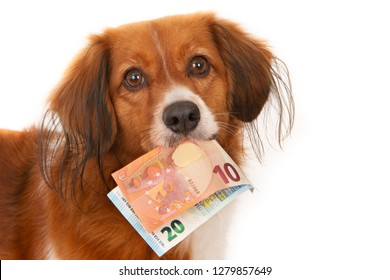 Small Dutch Waterfowl Dog, looking at camera, with with two notes of 10 and 20 euros in his mouth. On white