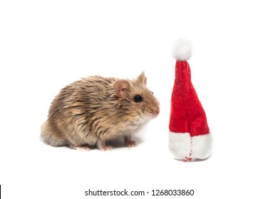 7197cb8f7c6 Small dwarf campbell hamster with Christmas hat