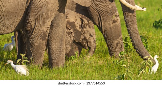 Small elephant baby calf surrounded by adult elephant legs Loxodonta africana on green grass close-up close up cattle egret white birds Amboseli National Park Kenya East Africa natural environment