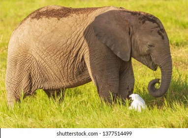 Small elephant calf baby Loxodonta africana eats green grass smiles plays white bird cattle egret curled trunk side view close up close-up Amboseli National Park Kenya East Africa safari big five