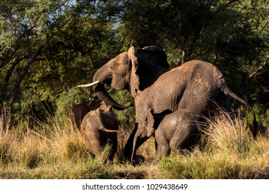 Small Elephant Family Running in Full Motion Away into the Forest