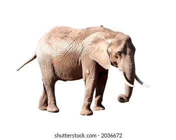 small elephant isolated over white