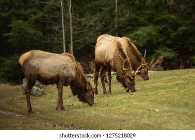 A small elk wapiti herd grazing on a lawn in Pennsylvania.
