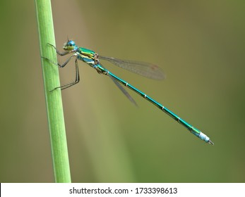 Small Emerald Damselfly (Lestes virens) on stick in Poland.