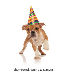 small english bulldog with birthday hat walks on white background and look to side