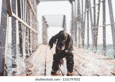 Small english cocker spaniel dog stands on wooden bridge naer ocean.Water splash. Photo in motion. Sunny day.