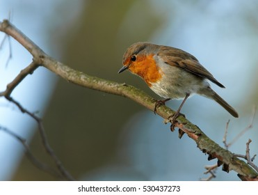 Small european songbird, Erithacus rubecula, European Robin, male with orange colored chest in spring against blue sky.