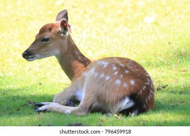 small exotic deer is resting in the grass (Elaphurus davidianus)