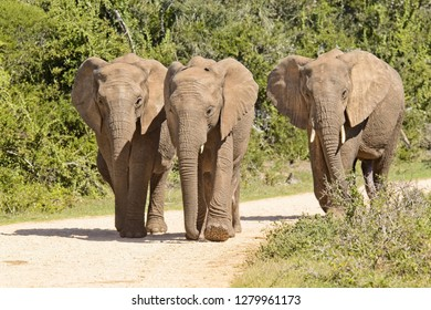 Small family of African elephants walking down a gravel road in a national park towards a waterhole