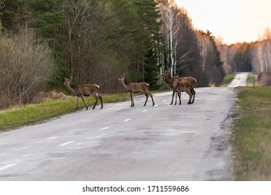 a small family of deer has come out on the road and is watching to see if anyone is approaching so that the other deer hiding in the forest can cross the road safely.