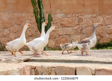 A small family of geese. Moroccan goose, The father protects young geese, A group of geese walking around Tiznit