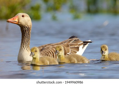 Small family of grey lag goose or Anser anser together one adult with three yellowish young chicks with plume feathers swimming towards the camera