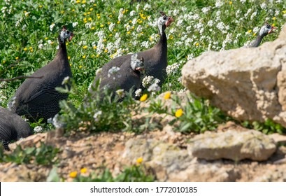 A small family of guinea fowls walking through vegetation and calling out for each other next to a small farm in Malta.