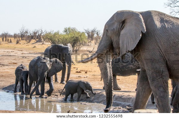 Small Family Herd Elephants Waterhole Matriarch Stock Photo