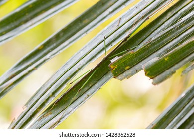 Small fancy stick insect perching on green leaf with blurred bright forest background at Khao Yai National Park, Thailand