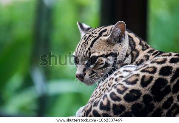 Small female Ocelot wildcat. Picture was taken at the La Paz Waterfall gardens just outside of San Jose, Costa Rica.