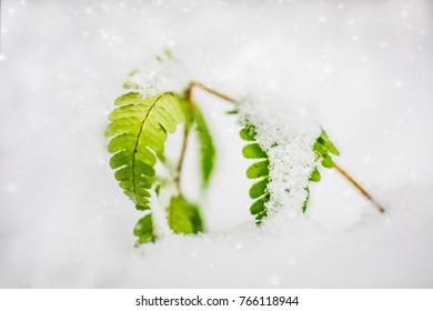 A small fern in a winter snowfall.