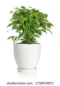 Small Ficus benjamina in white pot isolated on white background