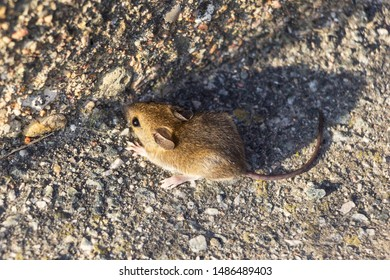 A small field mouse sits quietly in a corner. She is waiting for an opportunity to run away.