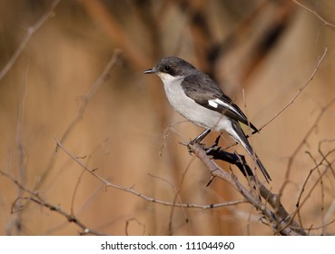 A small Fiscal Shrike amongst dry twigs