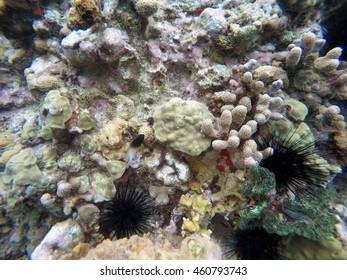 Small fish swimming past black sea urchins off the coast of Saint Lucia