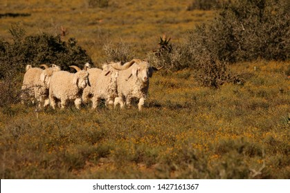 Small flock of Angora goats led by a ram with long horns, produce luxurious fine mohair fibre, walking in typical Karoo habitat of the Eastern Cape, South Africa.