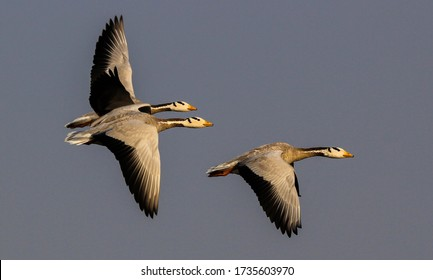 a small flock of bar headed geese fly into the early morning scene. The timing of the photo changes the understanding of the subject to a whole new level.