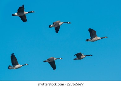 A small flock of Canada Geese flying south for the winter.