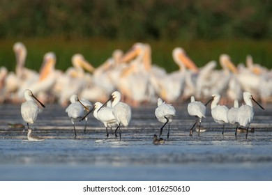 A small flock of European spoonbills stands in the water against a large flock of pelicans