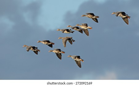 A small flock of greater white-fronted geese fly into the sunlight against a dark cloudy sky.