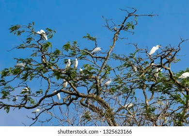 A small flock of majestic straw necked bird on tree.