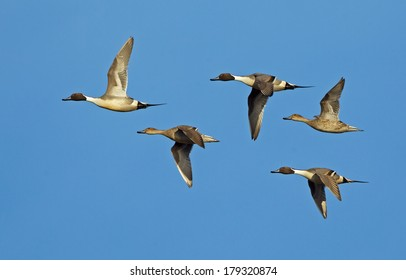 A small flock of northern pintail ducks fly through a sunny blue sky.