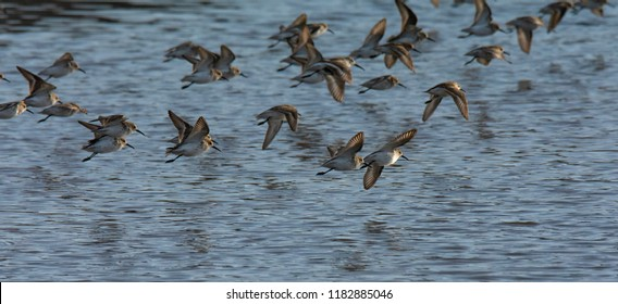 A small flock of Sandpipers skim the surface of a slightly rippled surface.