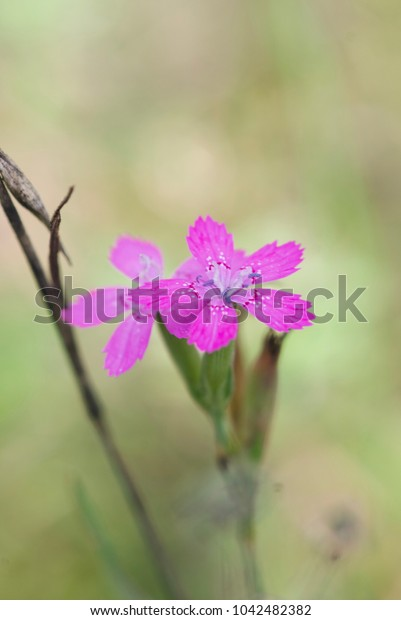 small flower of wild carnation