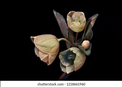 small flowers with buds on a black background,  bouquet, isolated.