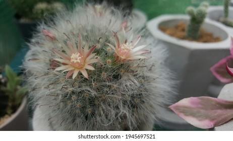 Small flowers of Mammillaria Bocasana  cactus.