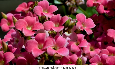 Small Flowers / They are Kalanchoe Blossfeldiana and were let to me to care by my daughter. That are small exquisite flowers, deserved a macro and last for weeks before die.